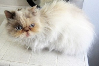 Persian rescue cat in Dog