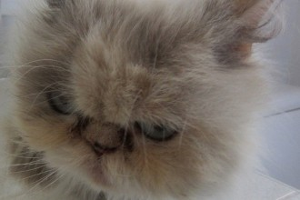 Persian rescue cat for adoption in Muscles