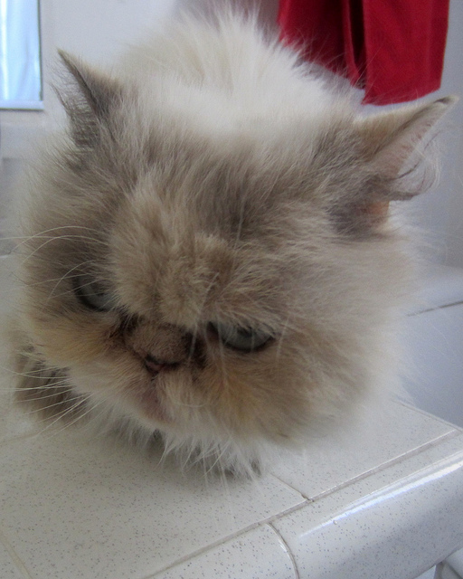Cat , 8 Charming Persian Cats Rescue : Persian Rescue Cat For Adoption