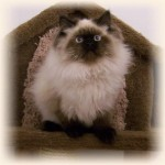 Persians cats and kittens , 8 Unique Doll Faced Persian Cats In Cat Category