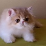 Pet Kittens , 8 Fabulous Shorthair Persian Cat In Cat Category