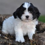 Pet for Sale , 8 Cute Shichon Puppies For Sale In Nj In Dog Category