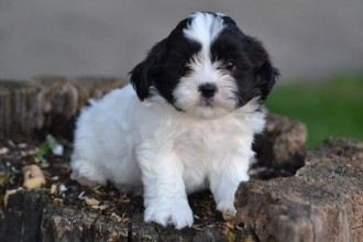 Dog , 8 Cute Shichon Puppies For Sale In Nj : Pet for Sale