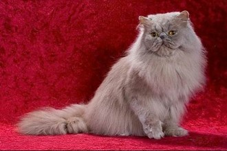 Pictures Collection Of Persian , 7 Cool Persian Cat Characteristics In Cat Category