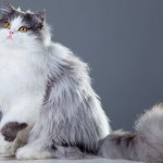 Pictures collection of persian cat hypoallergenic , 9 Cute Persian Cats Hypoallergenic In Cat Category
