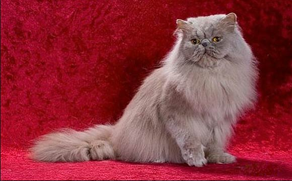 Cat , 7 Cool Persian Cat Characteristics : Pictures Collection Of Persian
