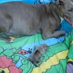 Pitbull Puppies , 5 Cute Morkie Puppies For Sale In Pittsburgh Pa In Dog Category