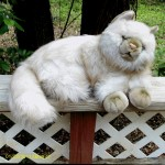 Plush Persian Cat , 7 Cute Persian Cat Lifespan In Cat Category