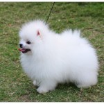 Pomeranian Puppies Pictures , 8 Cute Puppies For Sale In Williamsport Pa In Dog Category