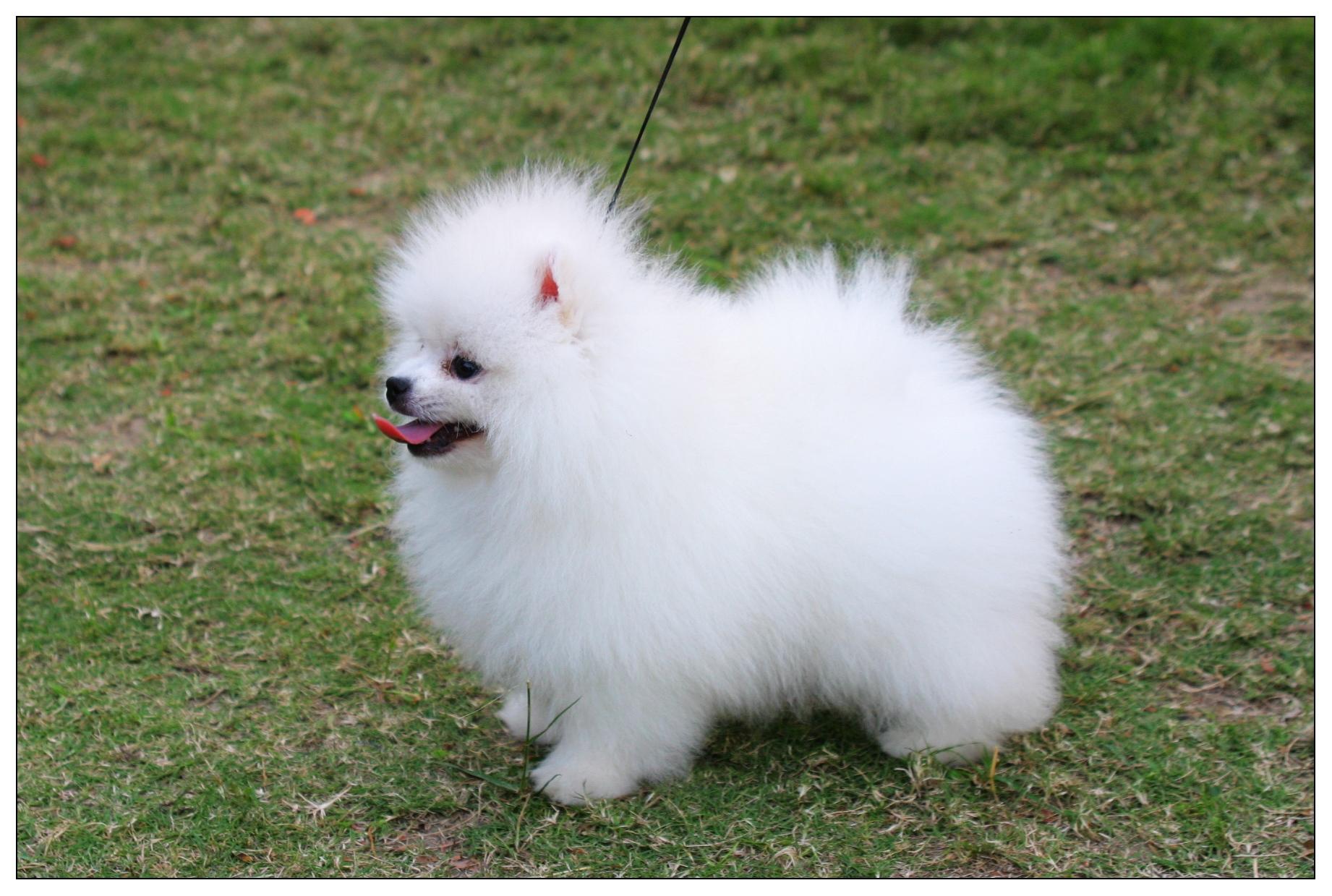White Teacup Pomeranian Dog Animalcarecollege Info