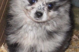 Pomskie Puppies , 8 Charming Pomskies Puppies For Sale In Dog Category