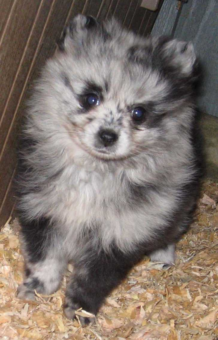Dog , 8 Charming Pomskies Puppies For Sale : Pomskie Puppies