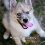 Pomskies , 8 Charming Pomskies Puppies For Sale In Dog Category
