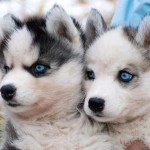 Pomskies Dog For Sale , 8 Charming Pomskies Puppies For Sale In Dog Category