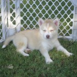 Pomskies For Sale Ohio , 8 Charming Pomskies Puppies For Sale In Dog Category