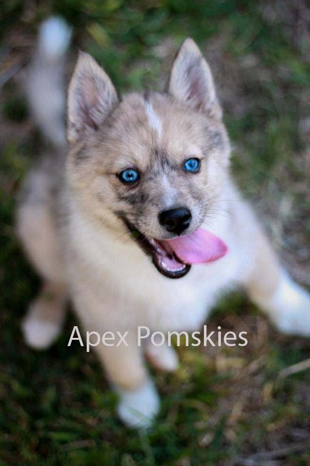 Dog , 8 Charming Pomskies Puppies For Sale : Pomskies
