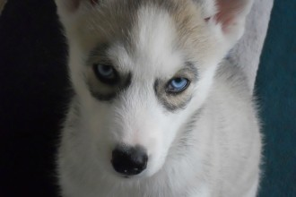 Pomsky Puppies For Sale Images in Butterfly