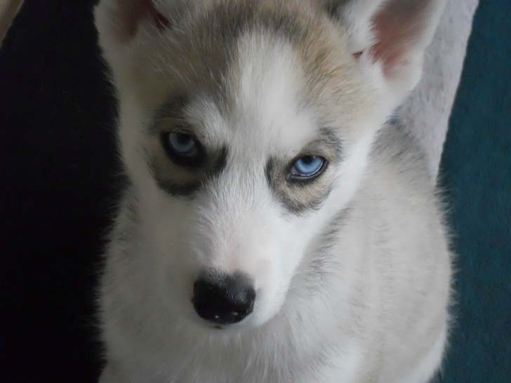 Dog , 6 Cute Pomsky Puppies For Sale In Oklahoma : Pomsky Puppies For Sale Images
