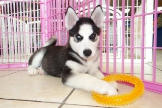 Pomsky Puppies For Sale In Oklahoma City in Butterfly
