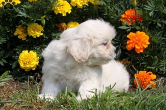 Poo Puppies , 7 Cute Peekapoo Puppies For Sale In Pa In Dog Category