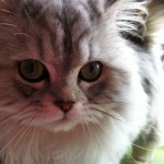Pretty Silver Persian Kitten , 6 Persian Cat Allergies To Consider In Cat Category