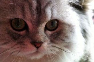 Pretty Silver Persian Kitten in Cat