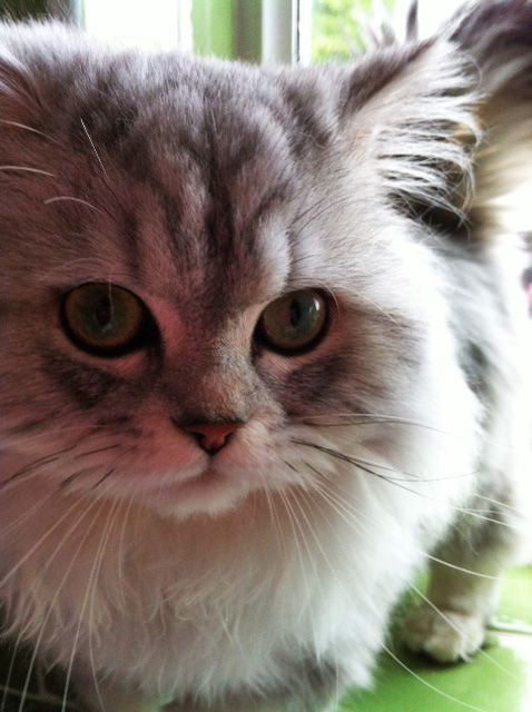 Cat , 9 Fabulous Persian Cats And Allergies : Pretty Silver Persian Kitten