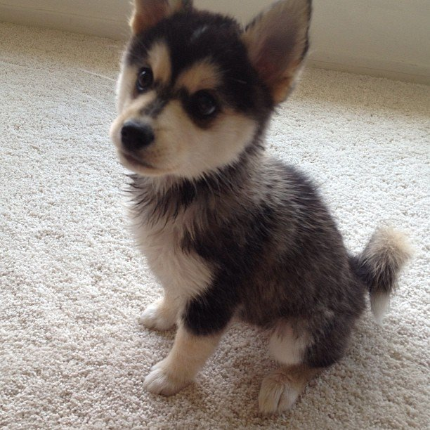 Puppies For Sale : 8 Charming Pomskies Puppies For Sale ...