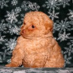 Puppies For Sale , 7 Cute Peekapoo Puppies For Sale In Pa In Dog Category