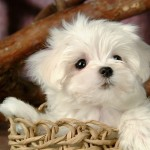 Puppies Wallpaper , 8 Cute Puppies For Sale In Williamsport Pa In Dog Category
