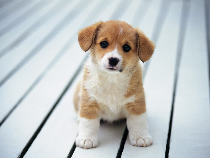 Dog , 9 Nice Puppies For Sale In Wheeling Wv : Puppies Wallpaper