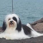 Puppy Havanese  , 7 Cute Yuppy Puppy Havanese In Dog Category