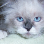 Purebred Kittens , 7 Charming Persian Cat Price Range In Cat Category