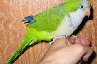 Quaker Parrot in Cell
