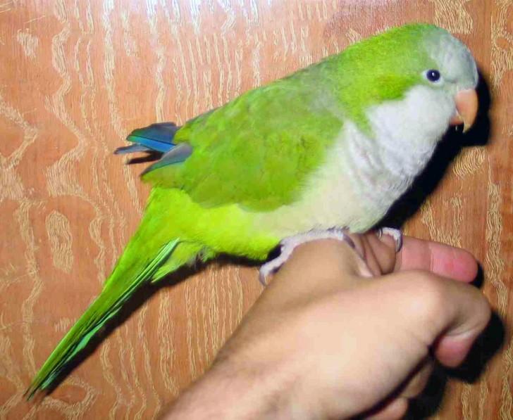 Birds , 7 Nice Quaker Parrots : Quaker Parrot