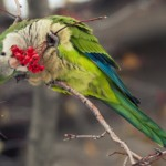 Quaker parrot Photos , 7 Nice Quaker Parrots In Birds Category