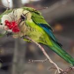 Quaker parrot Photos , 7 Nice Quaker Parrots In Birds Category