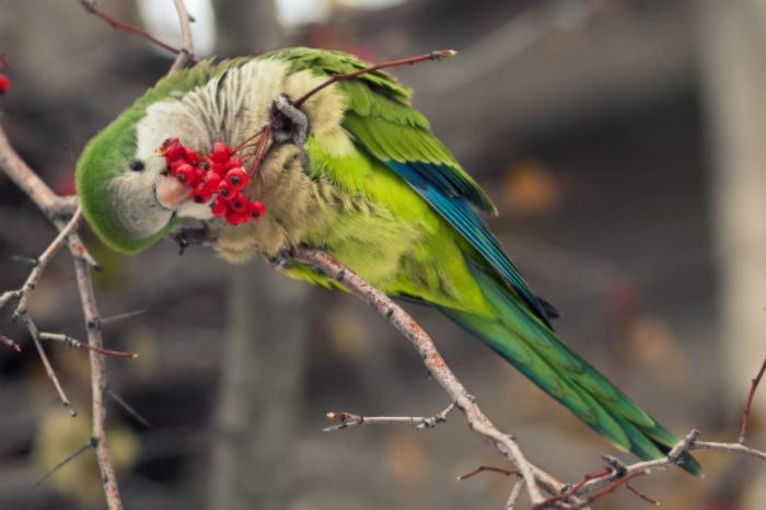 Birds , 7 Nice Quaker Parrots : Quaker Parrot Photos