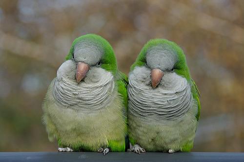 Birds , 7 Nice Quaker Parrots : Quaker Parrots