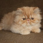 Red Mackerell Tabby Male , 7 Nice Exotic Shorthair Persian Cat In Cat Category