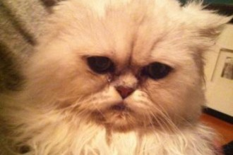 Rescue Cats , 8 Fabulous Persian Cat Rescue Seattle In Cat Category