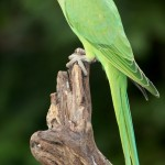 Ringneck parakeet , 7 Wonderful African Ringneck Parrot In Birds Category