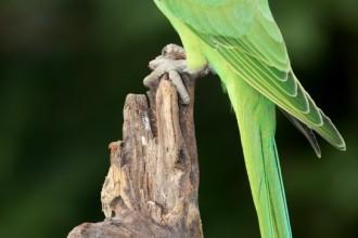 Ringneck Parakeet , 7 Wonderful African Ringneck Parrot In Birds Category