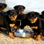 Rottweiler Puppies For Sale now , 6 Cool Rockwilder Puppies For Sale In Dog Category