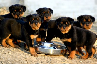 Rottweiler Puppies For Sale now in Bug