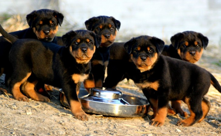 Dog , 6 Cool Rockwilder Puppies For Sale : Rottweiler Puppies For Sale Now