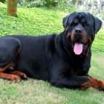 Rottweiler Puppy , 6 Cool Rockwilder Puppies For Sale In Dog Category