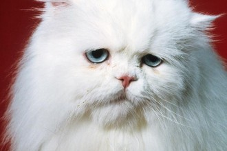 Sad Persian Cat Photograph , 9 Fabulous Persian Cats Breeders In Cat Category