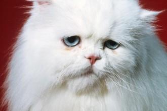 Sad Persian Cat Photograph , 9 Fabulous Persian Cats Breeders In Cat Category