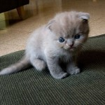 Scottish Fold Kittens , 4 Top Persian Cat For Sale Los Angeles In Cat Category